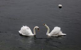 Natação bonita da cisne no lago Hallstatt foto de stock
