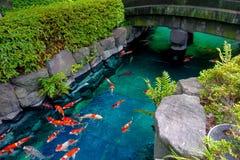 Natação bonita dos peixes do koi no pong em um rio pequeno, lagoa cercada por arbustos verdes no jardim japonês Asakusa Kannon Imagens de Stock