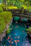 Natação bonita dos peixes do koi no pong em um rio pequeno, lagoa cercada por arbustos verdes no jardim japonês Asakusa Kannon Foto de Stock Royalty Free
