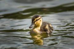 Natação bonito do patinho em um lago imagem de stock royalty free