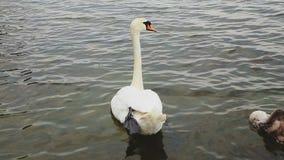 Natação branca da cisne com um patinho marrom do bebê no lago video estoque