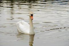 Natação branca da cisne na água Imagem de Stock