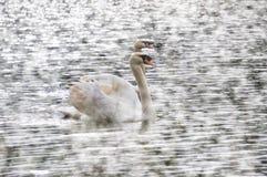 Natação branca da cisne no lago em PangUng, Maehongsorn, Tailândia Névoa acima da água Fotos de Stock Royalty Free