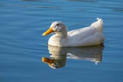 Natação branca do pato do pekin em uma lagoa ainda clara com reflexão na água fotografia de stock