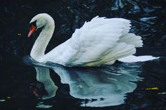 Natação branca do swann em um lago na cidade pequena de Windesheim Foto de Stock Royalty Free