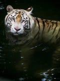 Natação branca do tigre Fotos de Stock Royalty Free