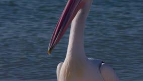 Natação cênico do pelicano filme