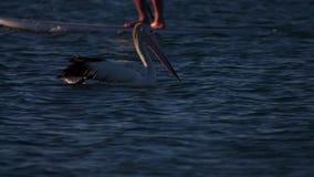 Natação cênico do pelicano video estoque