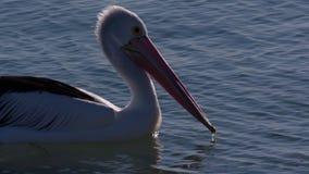 Natação cênico do pelicano vídeos de arquivo
