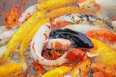 Natação colorida dos peixes do koi na água. ilustração do vetor