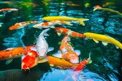 Natação colorida dos peixes do koi na água Imagem de Stock Royalty Free