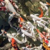 Natação colorida dos peixes do koi na lagoa Fotografia de Stock Royalty Free