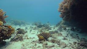Natação colorido dos peixes sobre o recife de corais tropical na parte inferior de mar Recife de corais subaquático da vista e pe video estoque