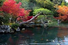 Natação da carpa de espelho em uma lagoa japonesa do jardim que cerca pelo au Fotografia de Stock Royalty Free