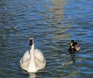 Natação da cisne Fotografia de Stock Royalty Free