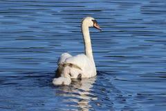 Natação da cisne fotografia de stock