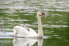 Natação da cisne em cisnes novos levando de uma lagoa Fotografia de Stock Royalty Free