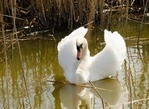 Natação da cisne em uma lagoa Imagens de Stock Royalty Free