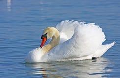 Natação da cisne muda Imagem de Stock