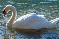 Natação da cisne no lago Fotos de Stock Royalty Free