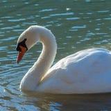 Natação da cisne no lago Foto de Stock