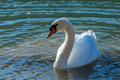 Natação da cisne no lago Fotografia de Stock Royalty Free