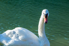 Natação da cisne no lago Imagens de Stock Royalty Free