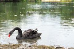 Natação da cisne preta Imagem de Stock Royalty Free
