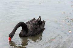 Natação da cisne preta Fotografia de Stock Royalty Free