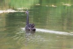 Natação da cisne preta Imagem de Stock