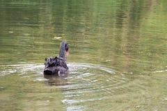 Natação da cisne preta Imagens de Stock