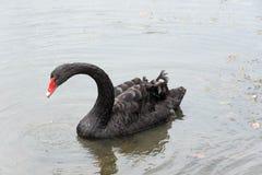 Natação da cisne preta Fotos de Stock Royalty Free