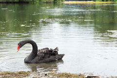 Natação da cisne preta Imagens de Stock Royalty Free
