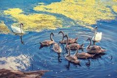 Natação da família da cisne na lagoa imagem de stock royalty free