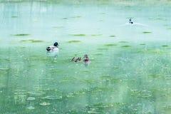 Natação da família do pato em um lago de turquesa Fotos de Stock