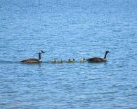 Natação da família dos gansos através do lago Fotografia de Stock Royalty Free