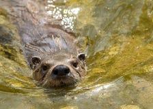 Natação da lontra Imagem de Stock