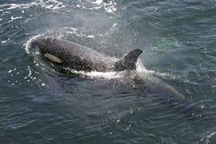 Natação da orca imagens de stock