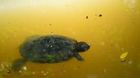 Natação da tartaruga video estoque