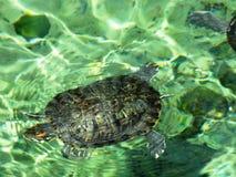 Natação da tartaruga Fotografia de Stock