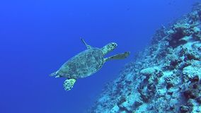 Natação da tartaruga de hawksbill do Mar Vermelho na parede tropical do recife de corais video estoque