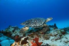 Natação da tartaruga de Hawksbill (imbricata do Eretmochelys) Imagens de Stock Royalty Free
