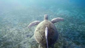Natação da tartaruga de mar de Hawksbill na água azul video estoque