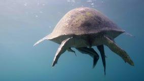 Natação da tartaruga de mar de Hawksbill na água azul vídeos de arquivo
