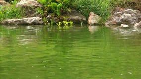 Natação da tartaruga do rio na lagoa no tempo chuvoso HD vídeos de arquivo