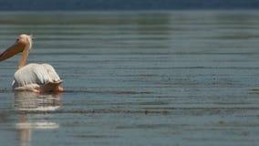 Natação Dalmatian do crispus do Pelecanus do pelicano na água no delta de Danúbio filme