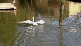 Natação Dalmatian do pelicano em um jardim zoológico da cidade vídeos de arquivo