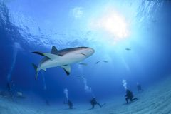 Natação das caraíbas do tubarão do recife entre mergulhadores foto de stock royalty free