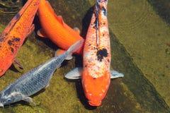 Natação de carpio do Cyprinus no lago no dia ensolarado imagem de stock
