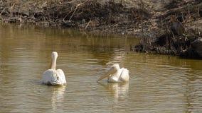Natação de dois pelicanos em uma lagoa video estoque
